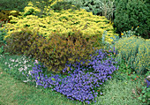 KONIFERENGARTEN : Juniperus 'Repanda' (Wacholder) im frischen Austrieb