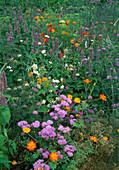 Beet mit Ageratum (Leberbalsam), Agastache (Duftnessel), Cosmos sulphureus (Schmuckkörbchen), Scabiosa (Witwenblume), Verbena bonariensis (Eisenkraut) und Fenchel (Foeniculum)