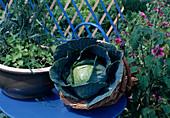 Frisch geernteter Kohlkopf , Weisskraut (Brassica)