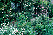 Rosa 'Constance Spry' Englische Rose, Kletterrose, einmalblühend, guter Duft ,