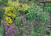 Polsterstauden wachsen in Trockenmauer : Aubrieta (Blaukissen) und Alyssum montanum 'Berggold' (Berg-Steinkraut)