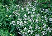 Amsonia tabernaemontana - Blausternbusch, Röhrenstern