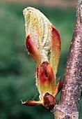 Frischer Austrieb in Frühling : Gemeine Rosskastanie (Aesculus hippocastanum)