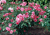 Rosa 'Rosy la Sevillana' - syn. 'Pink la Sevillana' Floribundarose , öfterblühend, zart duftend