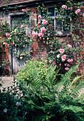 Rosa (Kletterose) an Wand von altem Haus