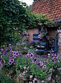 Blaue Terrasse mit Petunia 'Blue Daddy' (Petunien), blauen Stühlen und Pergola bewachsen mit Akebia quinata (Klettergurke)