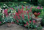 Centranthus ruber (Spornblumen) wachsen an Mauer, Pelargonium (geranie) und Argyranthemum (Margerite) in Toepfen, Blick auf Gartenbeet