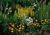 Gelbes Beet mit Lysimachia (Felberich), Calendula (Ringelblumen) , Digitalis lutea (Gelbem Fingerhut), Achillea ptarmica (Bertramsgarbe) und Tanacetum (Wucherblume)