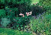 Rosa centifolia muscosa 'Jeanne de Montfort' (Moosrose, Kletterrose), einmalbluehend mit gutem Duft, Geranium (Storchschnabel), Heuchera (Purpurglöckchen)