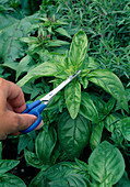 Bluetenansatz von Basilikum 'Großer Grüner Genoveser' (Ocimum basilicum) mit Schere entfernen