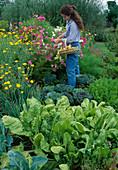 Frau schneidet Blumen : Cosmos (Schmuckkörbchen), Beet mit Mangold (Beta vulgaris), Zierkohl (Brassica), Zwiebeln (Allium cepa), Anthemis tinctoria (Färberkamille) und Möhren, Karotten (Daucus carota)