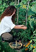 Tomaten (Lycopersicon) an Stütze festbinden