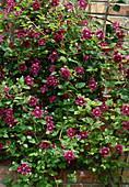 Clematis viticella 'Purpurea plena Elegans'(Italienische Waldrebe) an Mauer