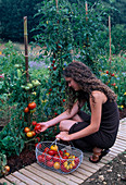 Frau erntet Tomaten (Lycopersicon) im Beet