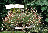 Erigeron karvinskianus / Spanisches Gänseblümchen in Korb auf Stuhl gestellt