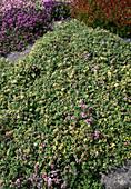 Thymus citriodorus'Bertram Anderson'(Zitronenthymian)
