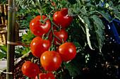 Tomaten 'Vitador' (Lycopersicon), aromatische Strauchtomate