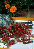 Frisch geerntete Kirschtomaten, Wildtomaten (Lycopersicon) mit Schere auf Tablett