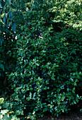 Ilex aquifolium 'Alaska' (Stechpalme) im Halbschatten