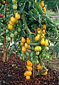 Tomaten 'Yellow Pear' (Lycopersicon) im Beet
