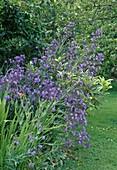 Anchusa azurea 'Loddon Royalist'(Ochsenzunge)