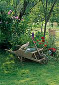 Rasenschnitt in Holzschubkarre, Laubrechen, Heugabel, Katze , kleines Beet mit Delphinium (Rittersporn), Crocosmia (Montbretie), Dahlia (Dahlie)