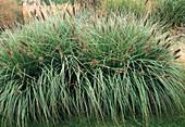 Pennisetum alopecuroides 'Japonicum' (Braunes Lampenputzergras)