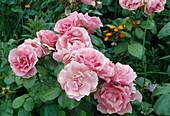 Rosa 'Coppelia' / Floribundarose, oefterbluehend, leichter Duft