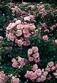 Rosa 'Bonica' (Floribundarose), robust und oefterbluehend