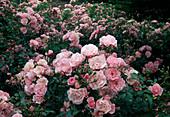 Rosa 'Bonica' / Strauchrose, oefterbluehend und robust