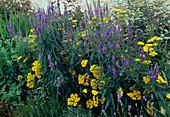 Blumenbeet: Veronica longifolia 'Blauriesin' (Wiesen-Ehrenpreis), Achillea filipendulina (Schafgarbe)