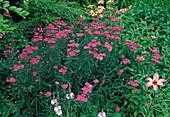 Achillea millefolium 'Cerise Queen'(Schafgarbe)