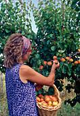 Aprikosen (Prunus armeniaca) ernten