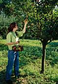Frau pflückt Äpfel (Malus)