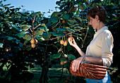 Frau bei der Ernte von Kiwi (Actinidia chinensis)