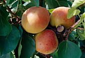 Aprikose 'Bergeron' (Prunus armeniaca)