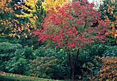 Acer griseum (Zimt-Ahorn) in Herbstfärbung