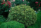 Ilex aquifolium 'Aureomarginata' - Europäische Stechpalme, kugelig geschnitten