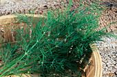 Frisch geernteter Dill (Anethum graveolens)