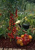 Tomaten 'Sweet 100' (Lycopersicum), Drahtkorb mit frisch gepflueckten gelben und roten Tomaten, Giesskanne