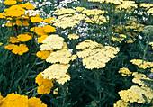 Achillea filipendulina 'Credo' 'Coronation Gold' (Schafgarbe)