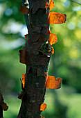 Acer griseum (Zimt - Ahorn), Rinde löst sich ab