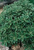 Ajania pacifica (Silberchrysantheme)