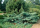 Koniferengarten : Juniperus squamata 'Hunetorp' (Kriechwacholder), Pinus (Kiefer)