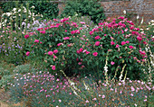 Rosa 'Surpasse Tout' syn. 'Cerisette la Jolie' (Gallica - Rosen), einmalbluehend mit starkem Duft, Dianthus caesius (Pfingstnelken) und Campanula (Glockenblumen)