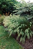 Stipa calamagrostis syn. Achnatherum calamagrostis (Silber-Aehrengras, Silber-Raugras), Aralia elata 'Variegata' (Weißblättrige Aralie, Weißer Japanischer Angelikabaum)