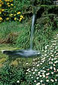 Erigeron karvinskianus 'Bluetenmehr' (Spanisches Gänseblümchen) neben Wasserfall