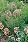 Verbluehte Allium christophii (Sternkugellauch , Zierlauch), Molinia caerulea (Pfeifengras)