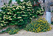 Hydrangea petiolaris (Kletterhortensie), Phlomis fruticosa (Brandkraut)