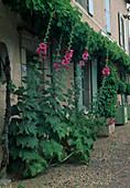 Alcea rosea (Stockrosen) und Wein (Vitis vinfera) an der Hauswand